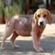 Veterinario Almeria -Enfermedades perros y gatos: demodicosis.